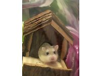 2 Small Dwarf Hamsters, with 3 story Cage, wheel, food and everything you need