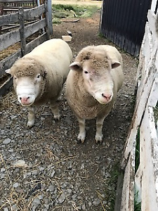 Purebred Dorset Rams for sale