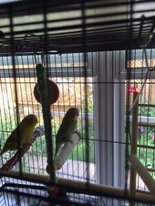 4 amazing Budgies and cage
