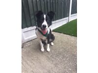 Border Collie pup needs loving home
