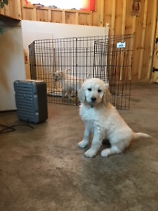 Goldendoodle Kijiji In Ontario Buy Sell Save With Canada S