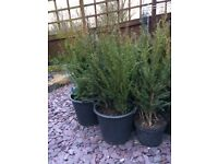 Yew Trees £2 each