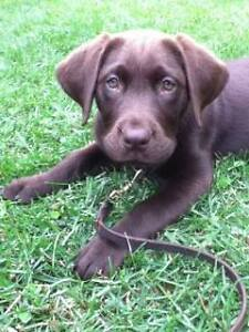One Beautiful CKC registered Purebred Chocolate Lab Puppy