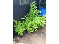 Cherry Laurel Plants 'Prunus Rotundifolia'