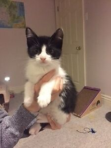 """Baby Male Cat - Domestic Short Hair: """"Cosmo"""""""