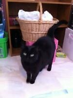"Adult Female Cat - Domestic Short Hair-black: ""Midnight"""