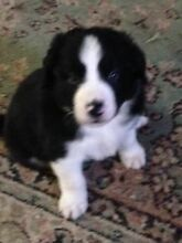 Male Border Collie Pup Woodvale Bendigo Surrounds Preview