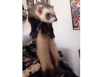 Neutered male ferret for sale