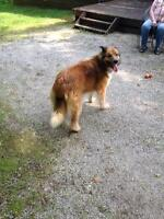 "Adult Female Dog - Collie-Shepherd: ""Brandy"""