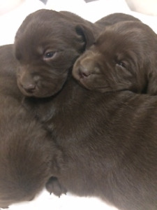 PUREBRED CHOCOLATE LAB PUPPIES FOR SALE