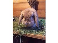 2 Female Mini Lop rabbits, free to good home