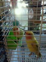 Two sweet female lovebirds with cage and accessories