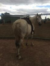 Welsh Gelding, Ride OR Great Packhorse Sutton Gungahlin Area Preview