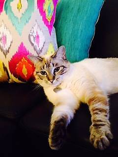 Adorable and affectionate cat for adoption to a good home Greenacre Bankstown Area Preview