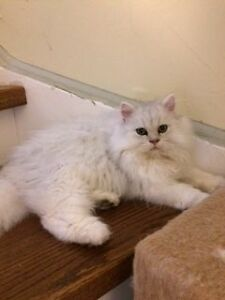 PUREBRED PERSIAN SILVER CHINCHILLA DOLL FECED KITTEN