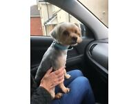 Cross Lhasa Apso/Yorkshire Terrier Free to a loving home