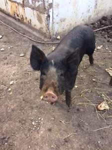 Berkshire Boar for Sale