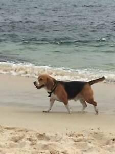 beagle | Dogs & Puppies | Gumtree Australia Free Local Classifieds