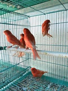 Color bred canary's