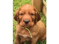 Irish setter pups - KC reg