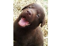 chocolate labrador cross puppies for sale