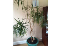Indoor Dragon Plant