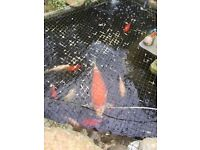Fish pond fish for sale