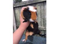 Guinea pigs and hutch for sale