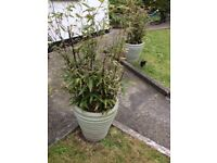 2 x Large Rare Bamboos - Phyllostachys Nigra (Black Bamboo) - Offers invited.