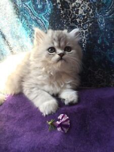 DOLLFACE PERSIANS Silver-Shaded & Chocolate Tabby (x Himalayan)