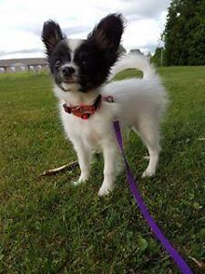 "Baby Male Dog - Papillon: ""Pascal"""