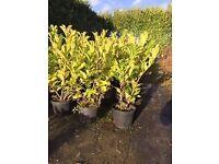 Laurel Hedging Plants for sale