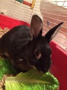 "Adult Female Rabbit - Silver Marten: ""Bunbun"" Cambridge Kitchener Area image 2"