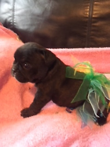 One Registered French Bulldog Puppy left!