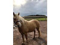 12hh lovely welsh palomino pony