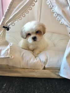 Malshih puppies for sale