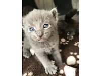 Pure Russian Blue Kittens for sale in London