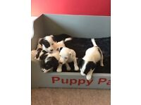 Miniature Jack Russels for sale