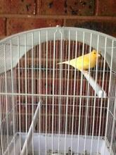 Two yellow canaries with cages Hoppers Crossing Wyndham Area Preview