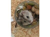 Dot, Russian dwarf hamster available for adoption.