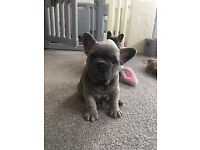 French bulldog puppies - Ready to go now!