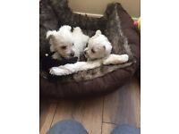 West Highland White errier Puppies