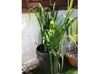 FREE- Pond Irises