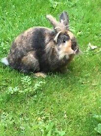 Beautiful 9 Month Old Male Lionhead Rabbit