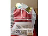 Hand Tame 11 Week Cute Baby Budgies With Cage