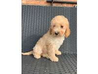 Pure bred Miniature Poodle boy puppy - DNA clear for all tests