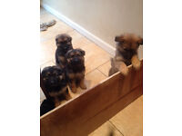 5 chunky long haired German shepherd pups