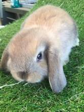 EXPRESSIONS OF INTEREST - PURE BRED MINI LOP SOOTY FAWN BUCK Cloverdale Belmont Area Preview