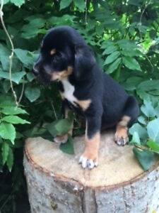 ALL SOLD, THANK YOU- Australian Shepherd x Rottweiler Puppies