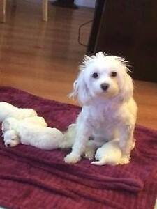 Maltese  allPups SOLD.. starting a list for next litter.